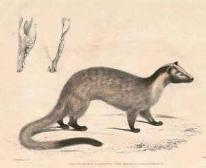 The Popping Weasel