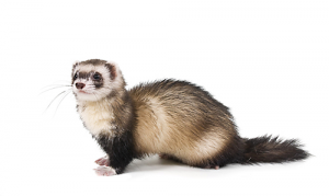 All about Weasels